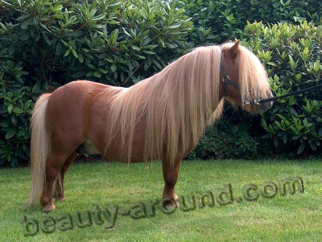 Shetland pony most beautiful horse breeds photos