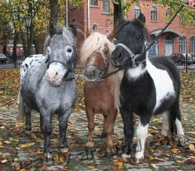 Фалабелла порода лошадей