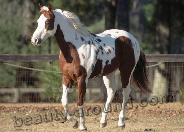 Pinto most beautiful horse breeds photos
