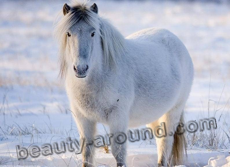 Yakut horse most beautiful horse breeds photos