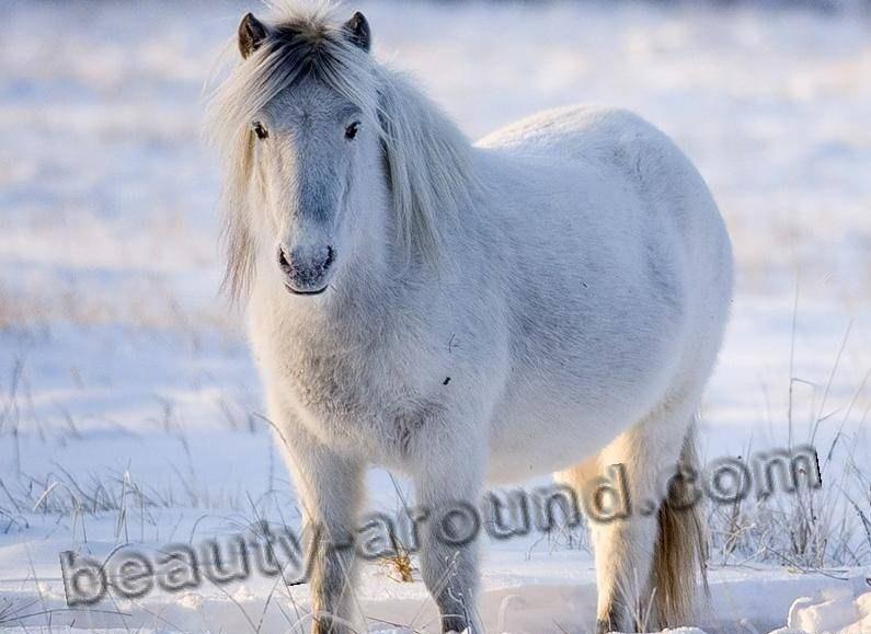 Якутская лошадь породы лошадей