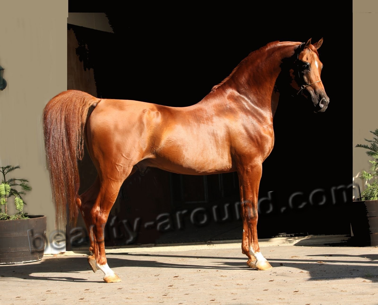 Arabian horse most beautiful horse breeds photos