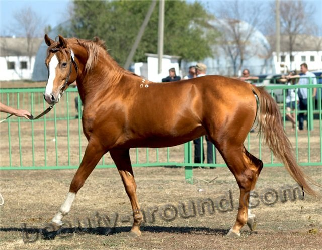 Russian Don horse most beautiful horse breeds photos
