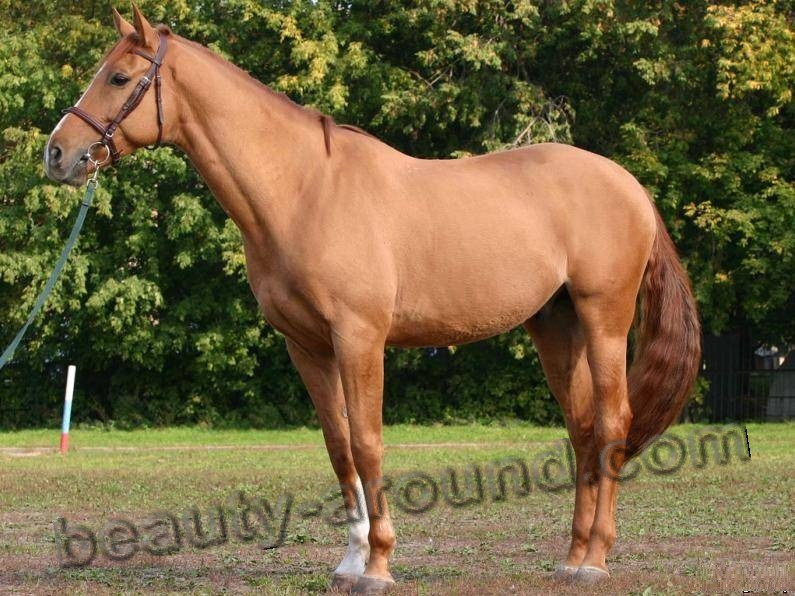 Budyonny horse most beautiful horse breeds photos
