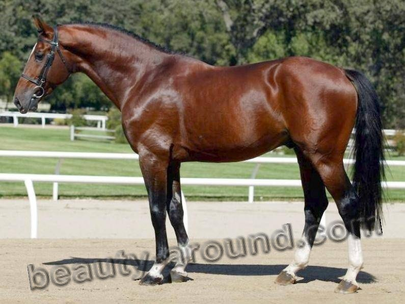 Holsteiner horse most beautiful horse breeds photos