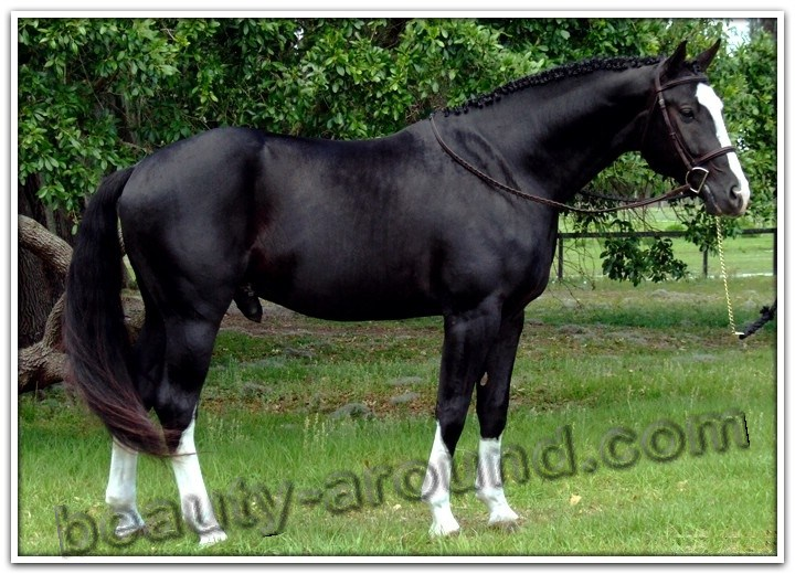 Hanoverian horse most beautiful horse breeds photos