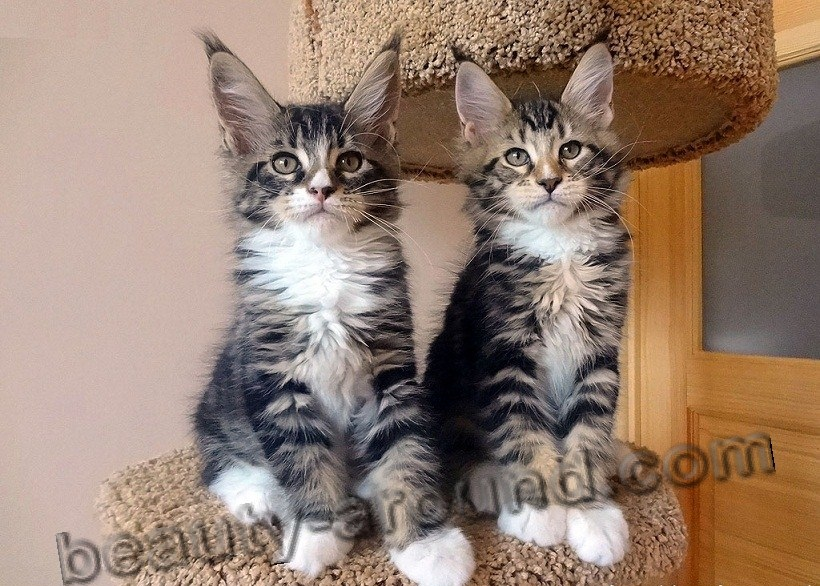 maine coon kittens pictures