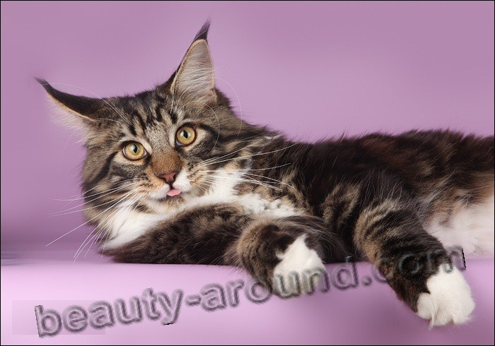 maine coon photos