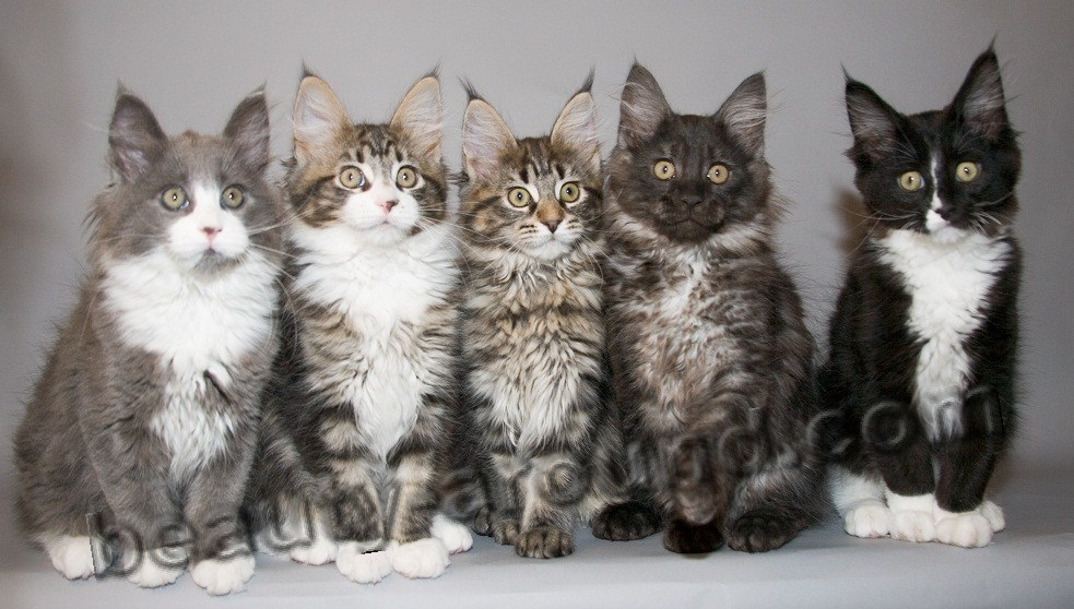 maine coon kittens photos