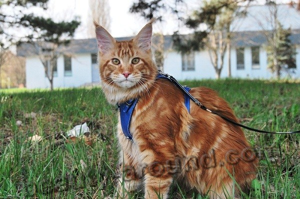 maine coon photos, Maine Coon on a leash