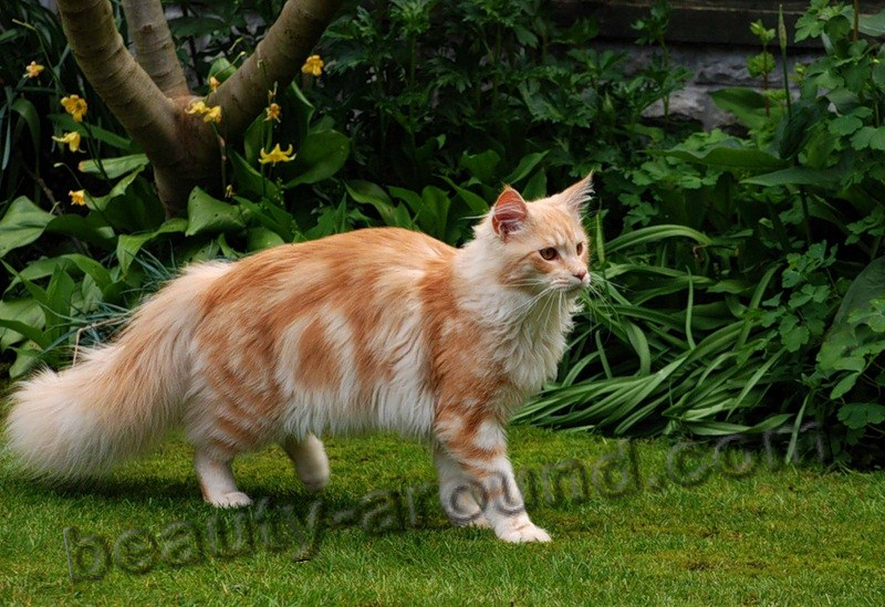 maine coon photos pictures, watch a video about the Maine Coon