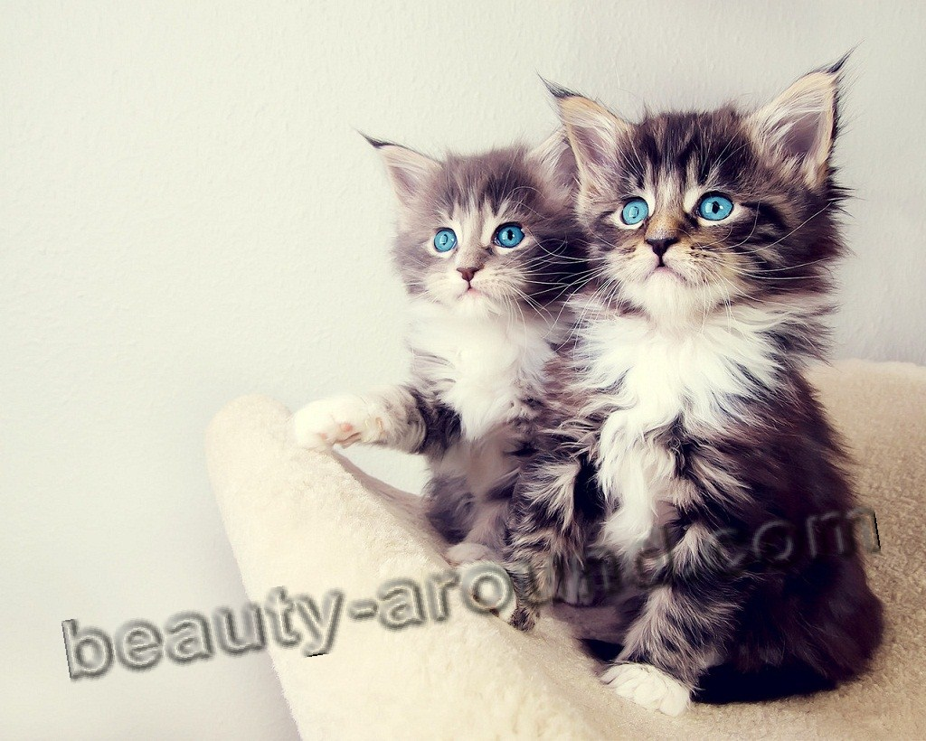 maine coon kittens photos pictures