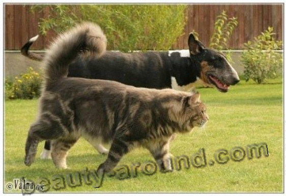 maine coon photos pictures, Maine Coon with dog