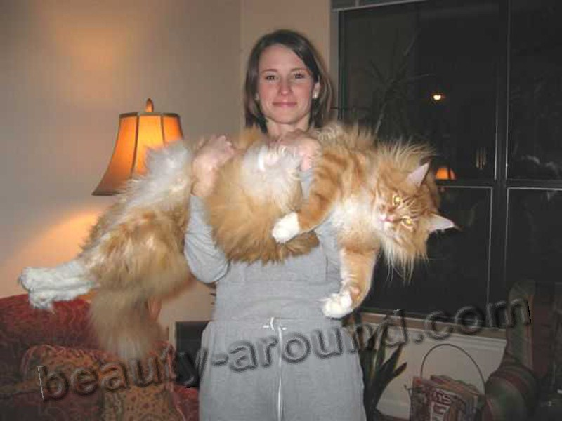 maine coon photos pics, Maine Coon on the hands with the owner, maine coon photos, maine coon kittens, maine coon pictures, maine coon cat kittens, the largest cat in the world