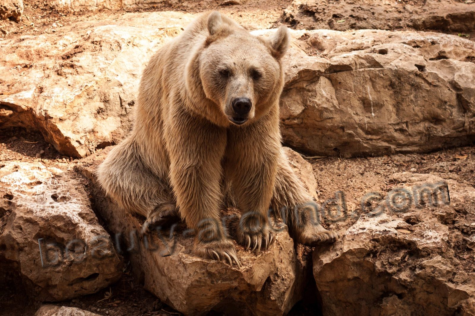 Syrian brown bear beautiful bear photos