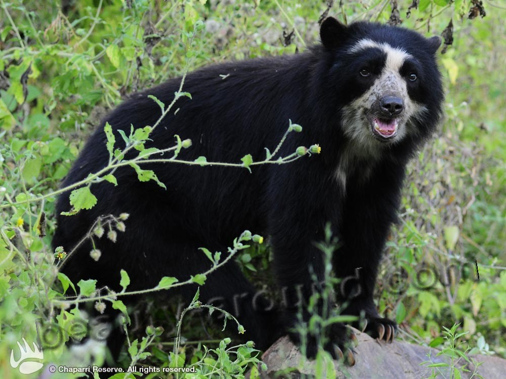 Spectacled bear beautiful bear photos