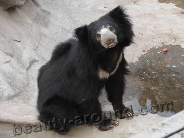 Sloth-bear beautiful bear photos