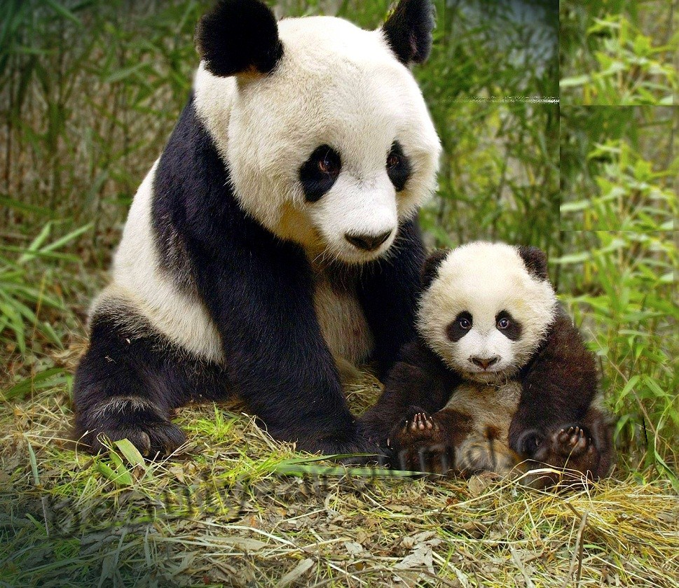 Panda (bamboo bear) beautiful bear pictures