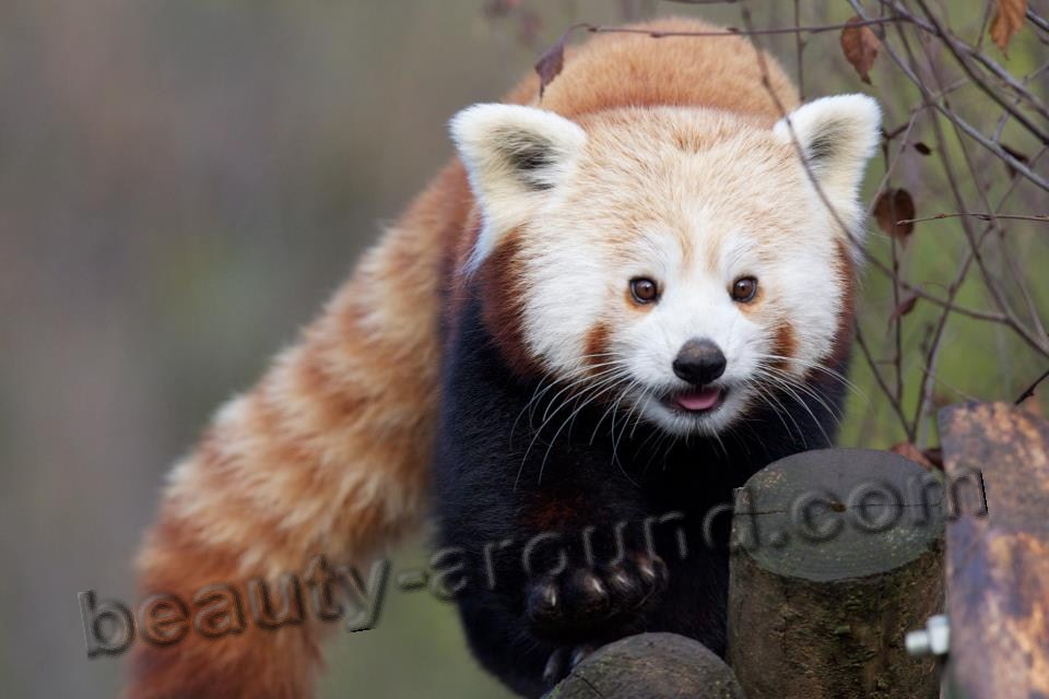 Red panda  beautiful bear pictures