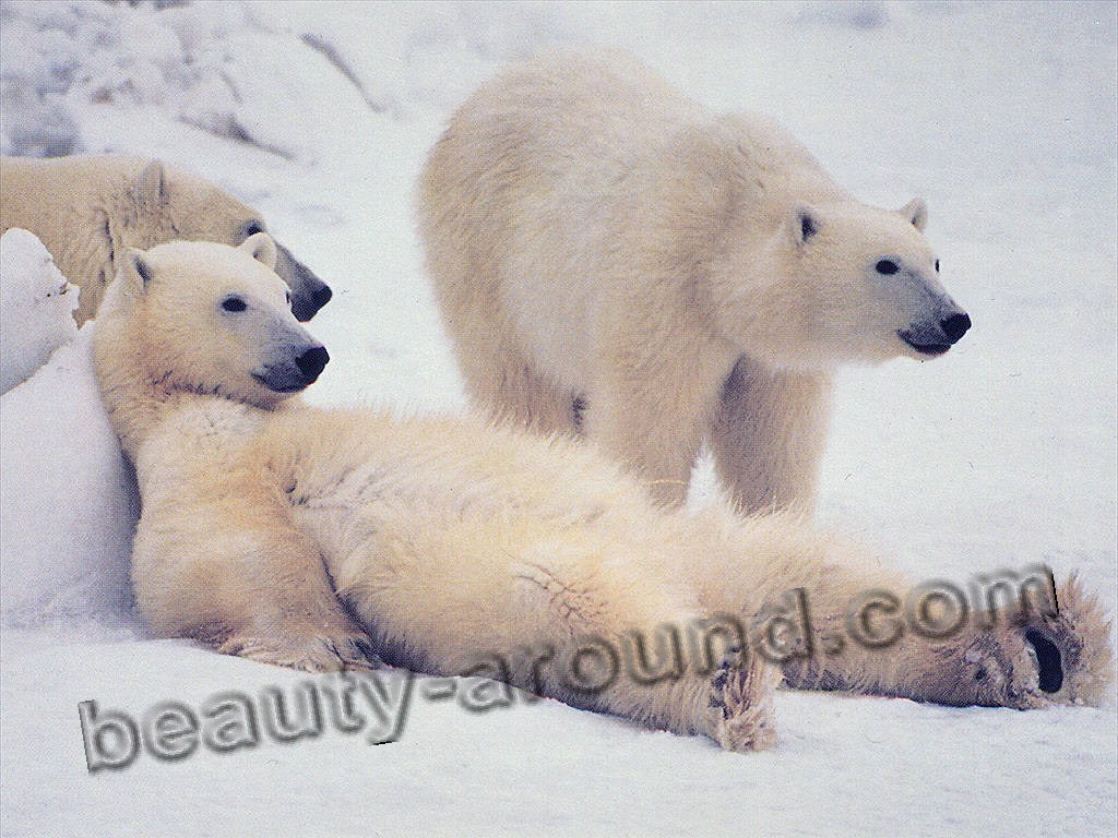 Polar bear beautiful bear pictures