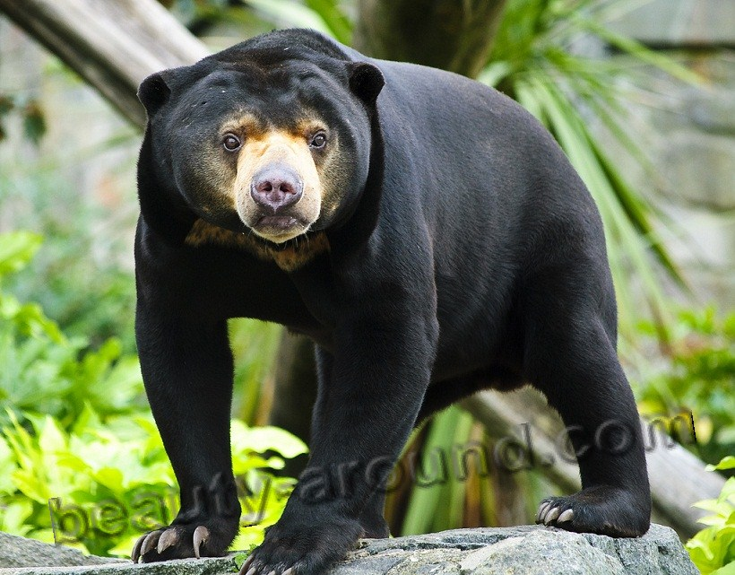 Malay bear beautiful bear photos