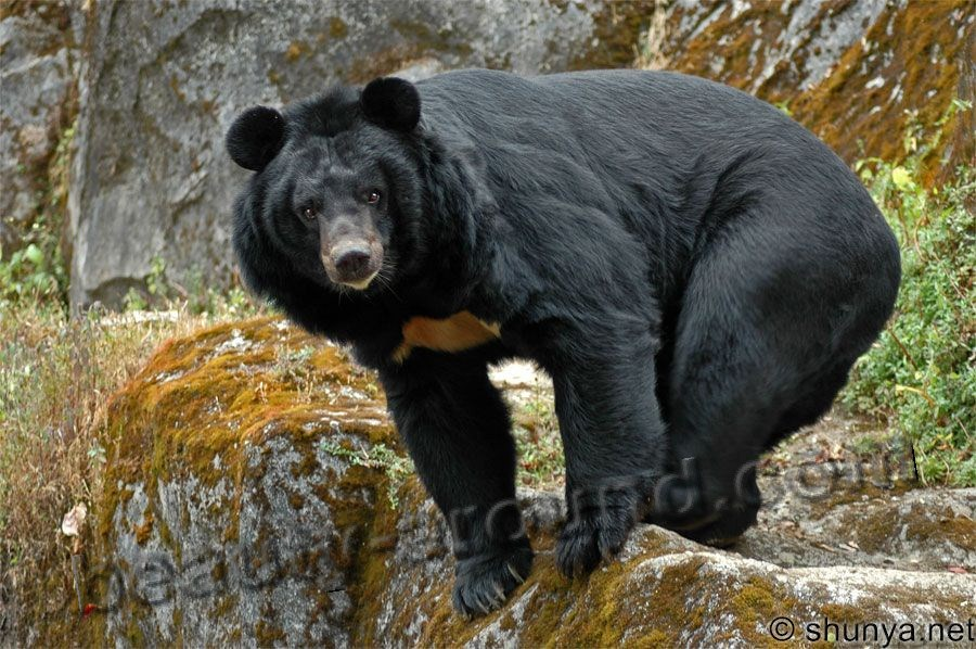Himalayan black bear beautiful bear photos