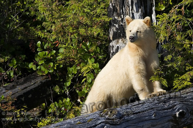 Kermode beautiful bear photos