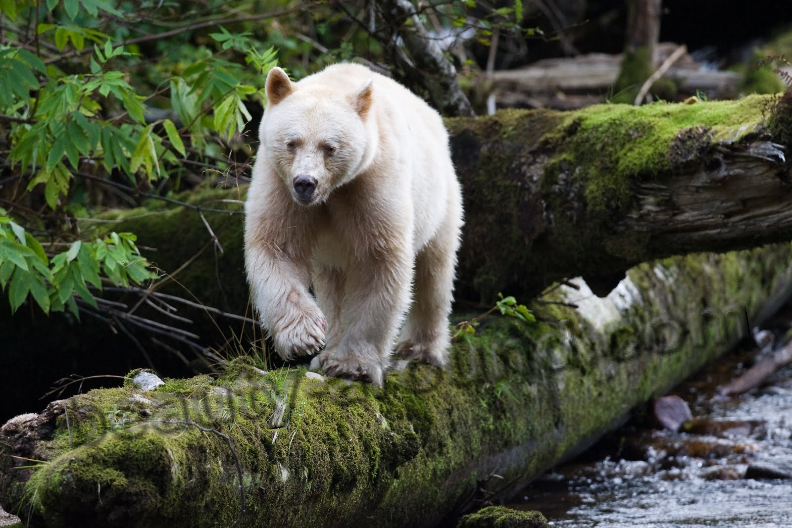 Kermode beautiful bear pictures
