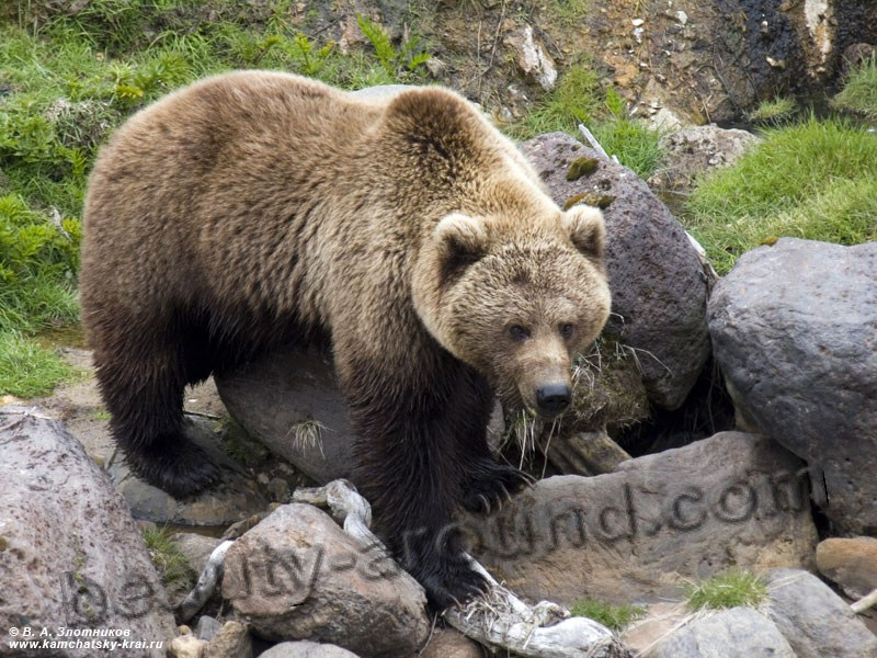 Kamchatka brown bear beautiful bear photos