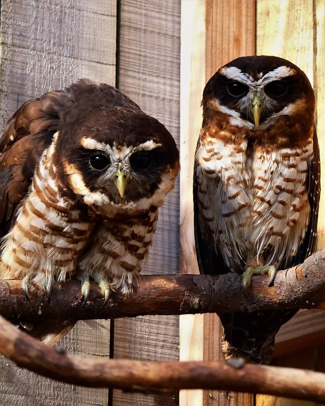 Band-bellied Owl photo