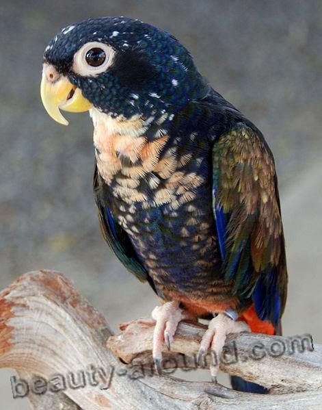 Бронзовокрылый попугай самые красивые попугаи фото