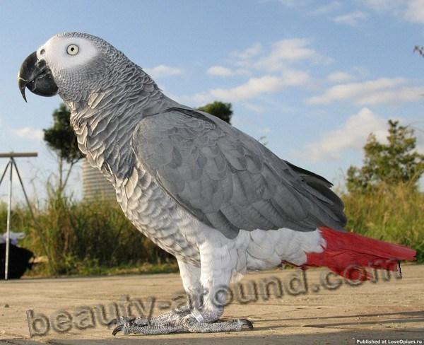 Жако или серый попугай самые красивые попугаи фото