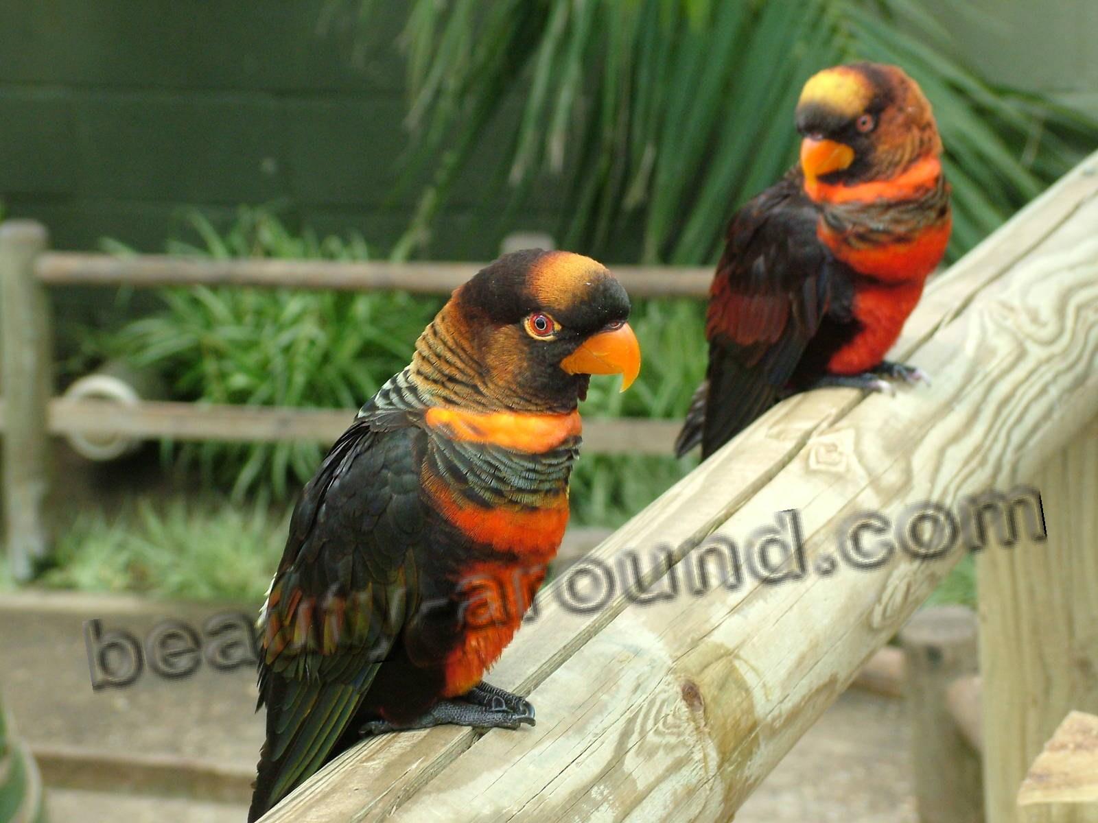 Белоспинный лори самые красивые попугаи фото