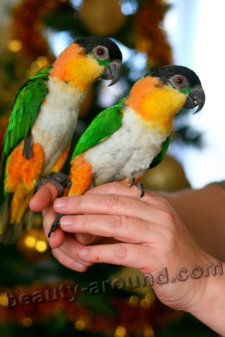 Черноголовый белобрюхий попугай самые красивые попугаи фото