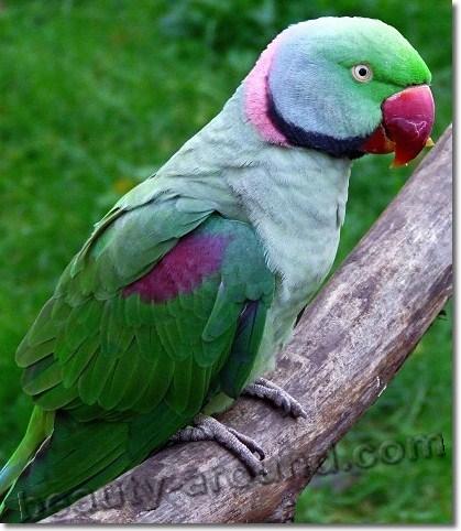 Александров кольчатый попугай (александрийский попугай) самые красивые попугаи фото