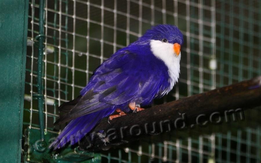 Синий лори-отшельник самые красивые попугаи фото