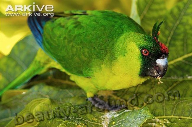Рогатый попугай самые красивые попугаи фото