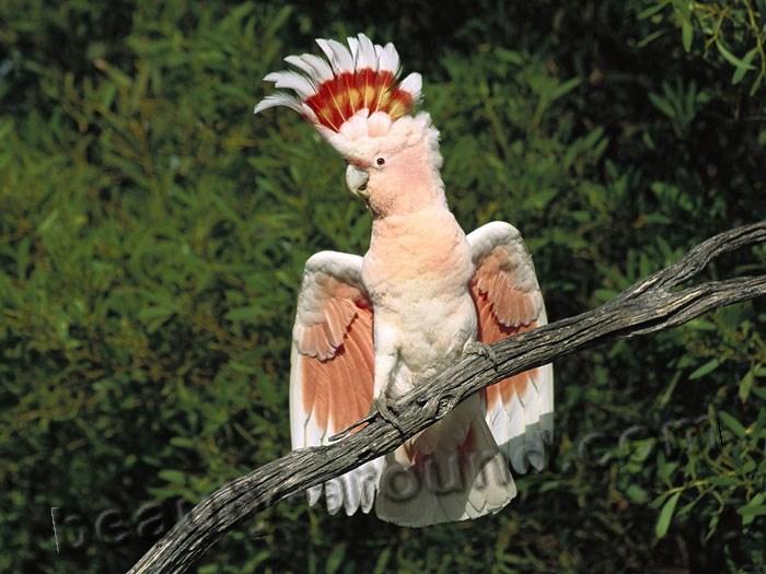 Какаду инка самые красивые попугаи фото