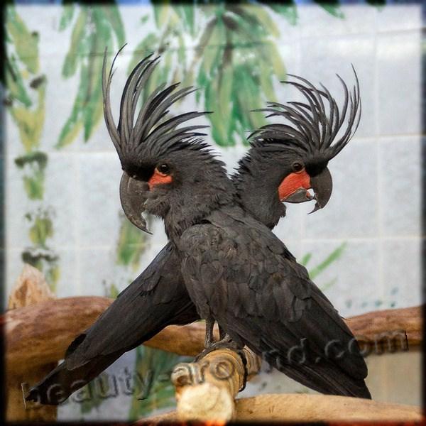 Чёрный (пальмовый) какаду самые красивые попугаи фото