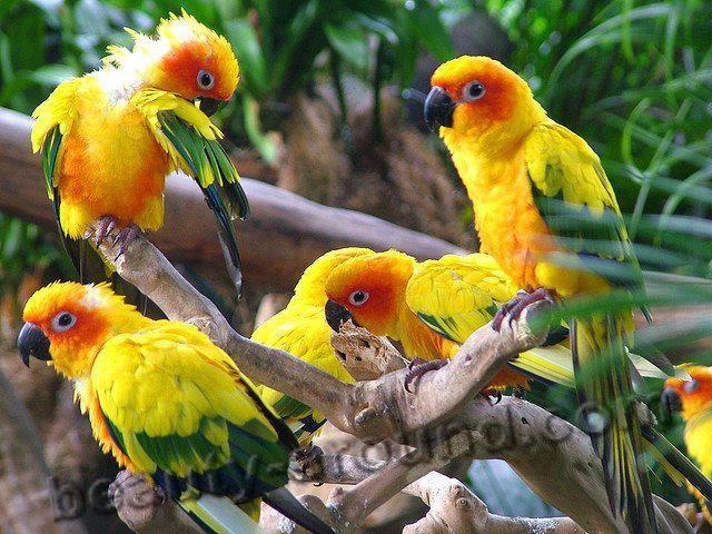 Солнечная аратинга самые красивые попугаи фото