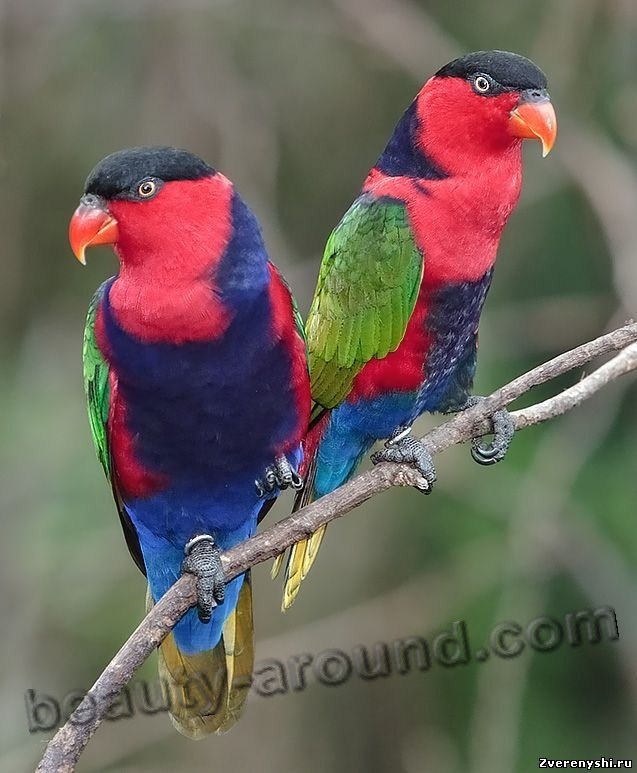 ерношапочный или трехцветный широкохвостый лори (дамский лори) самые красивые попугаи фото