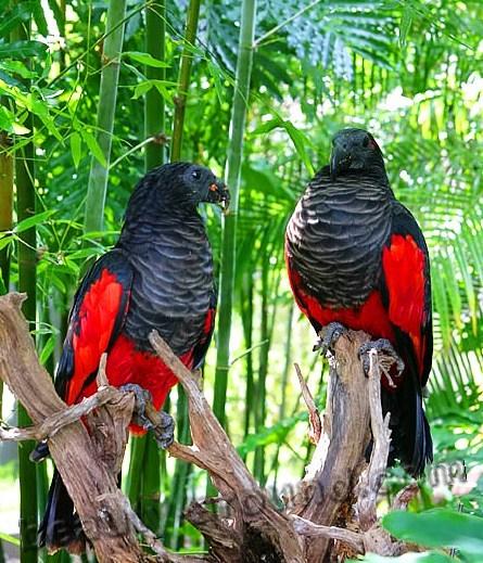 Щетиноголовый или грифовой попугай самые красивые попугаи фото