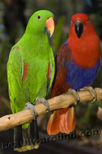 Благородный зелёно-красный попугай самые красивые попугаи фото