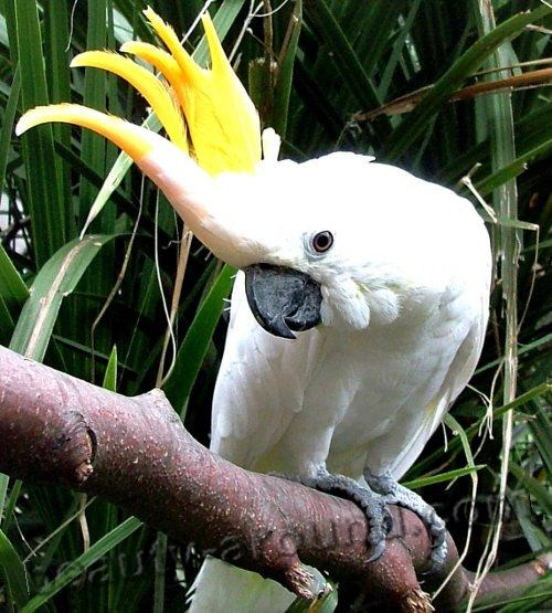 Большой желтохохлый какаду самые красивые попугаи фото