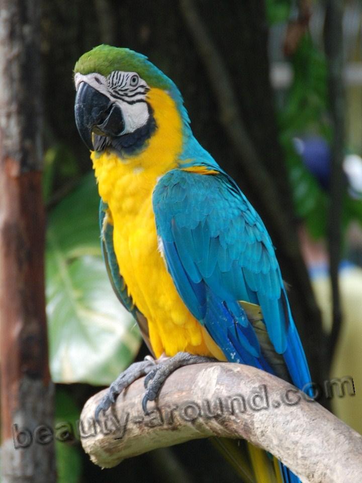 Ара жёлто-зелёный самые красивые попугаи фото