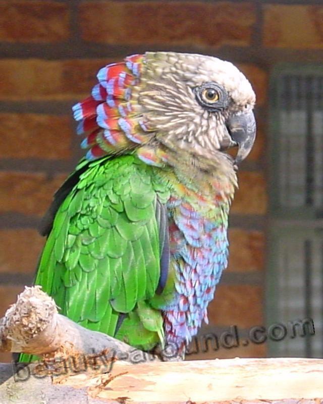 Веерный попугай самые красивые попугаи фото