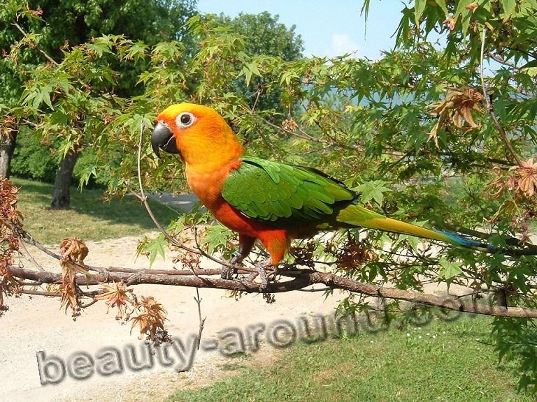 Арантига Ендайя самые красивые попугаи фото