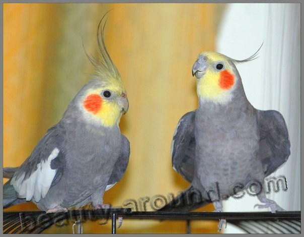 Корелла самые красивые попугаи фото