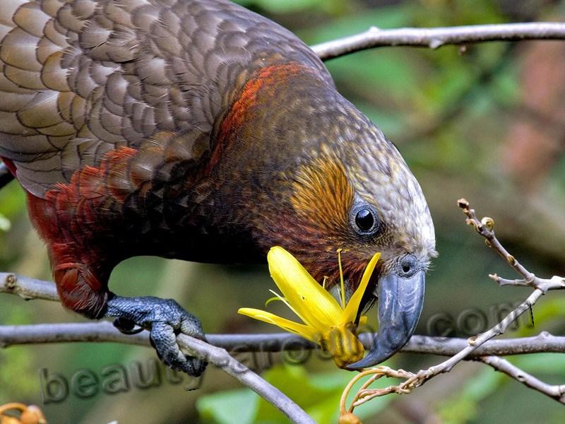 Нестор-кака самые красивые попугаи фото