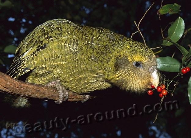 Совиный попугай (какапо) самые красивые попугаи фото